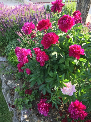 Peony bed at Pineridge Hollow