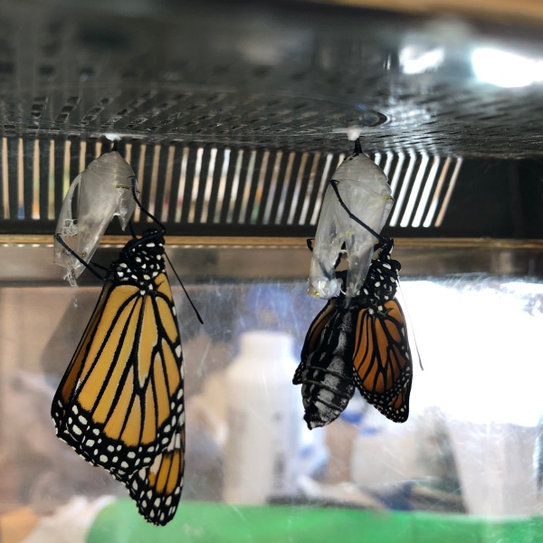2020 ditch rescued Monarch Butterflies eclosing.
